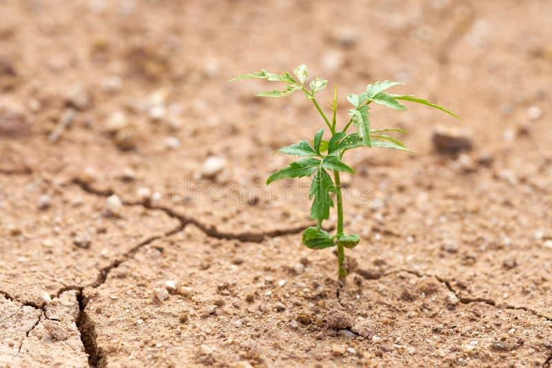 As plantas crescem na terra seca Tentativa das plantas a viver o l seguinte foto de stock royalty free