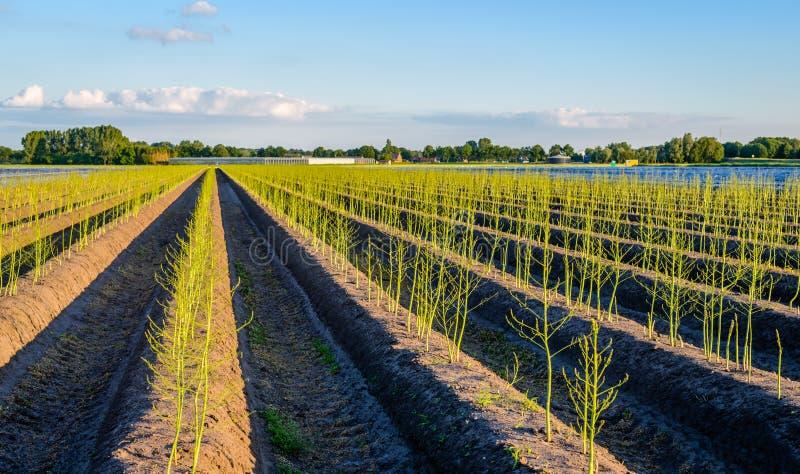 As plantas de brotamento novas do aspargo após a colheita holandesa temperam fotos de stock royalty free