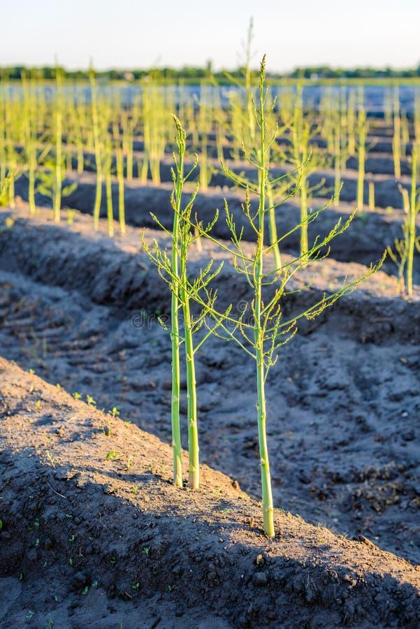 As plantas de brotamento novas do aspargo após a colheita holandesa temperam imagem de stock