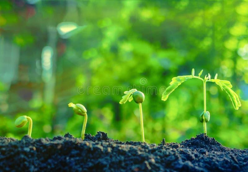 As plantas de semente estão crescendo Estão crescendo ponto por ponto fotografia de stock royalty free
