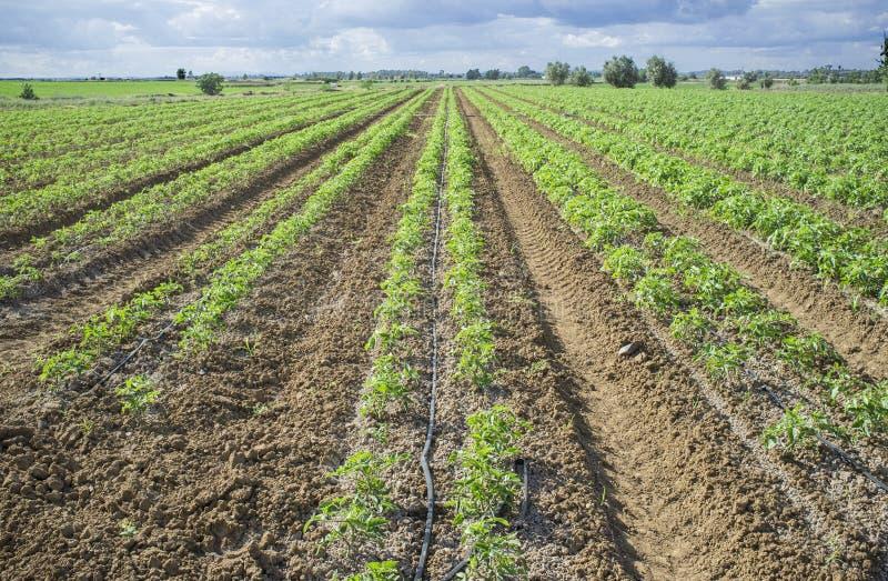 As plantas de tomate novas plantaram em duas linhas cada sulco fotografia de stock