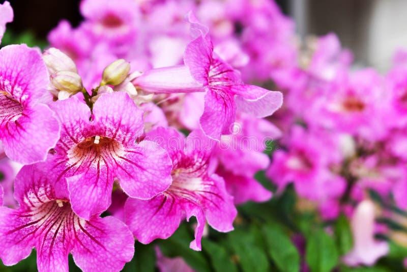 As plantas decorativas bonitas florescem o petúnia que espera em clientes foto de stock
