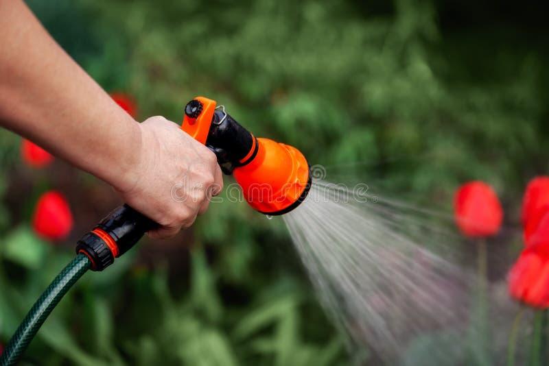 As plantas molhando das mãos da mulher da vista da mangueira, fazem uma chuva no jardim imagem de stock