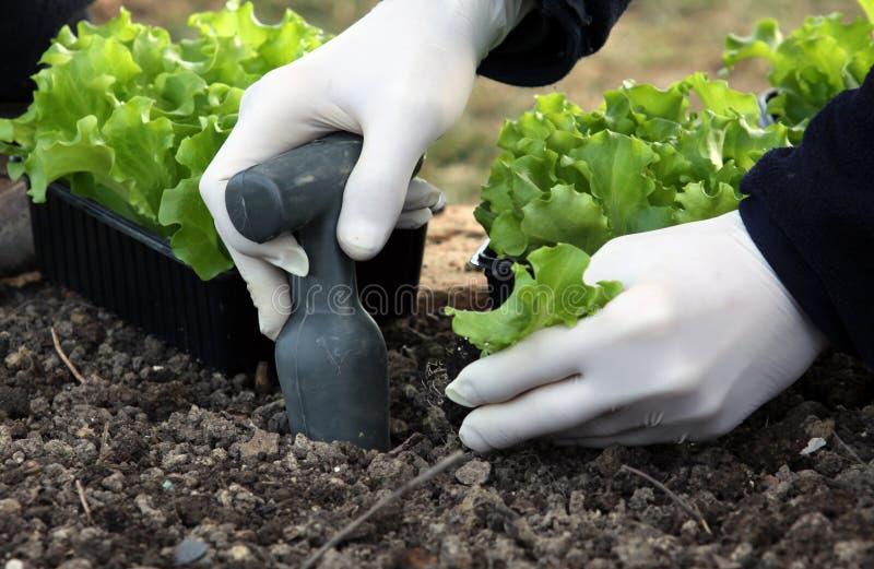 As plantas novas da salada que plantam no jardim alojam foto de stock royalty free