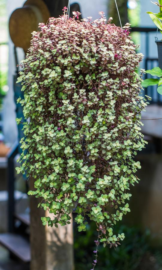 As plantas são verde muito vívido, o açafrão no potenciômetro são visíveis à casa fotos de stock