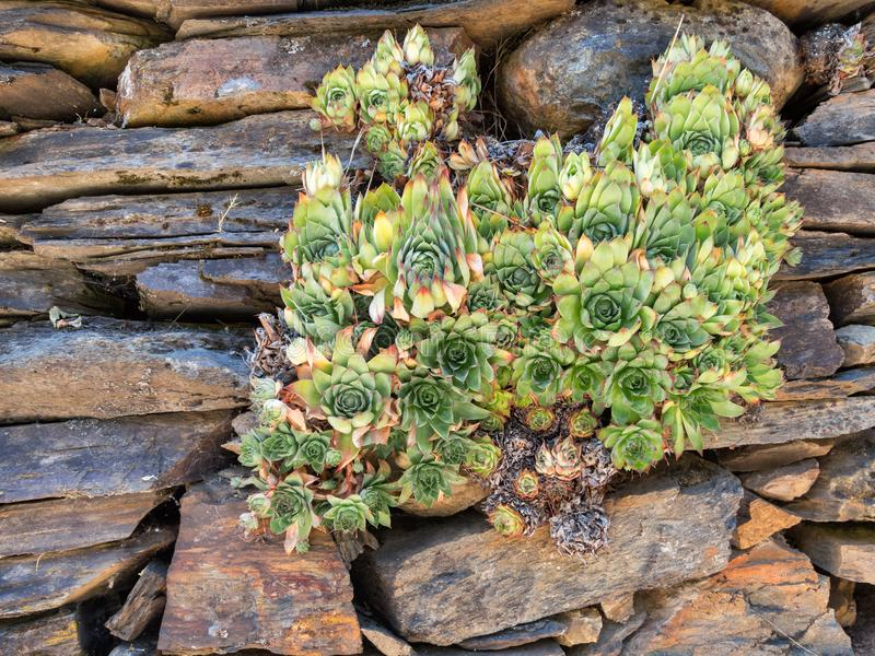 As plantas suculentos crescem em uma parede da rocha fotos de stock royalty free