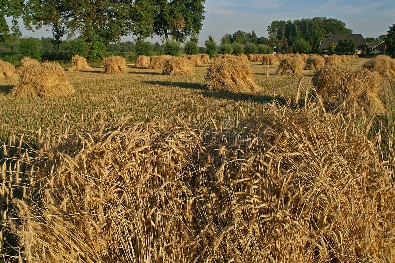 As polias do milho fizeram apenas da grão colhida fotografia de stock