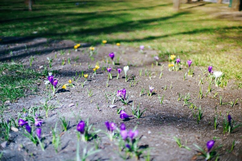 As primeiras flores da mola estão crescendo em uma rua Fundo da natureza da mola imagem de stock