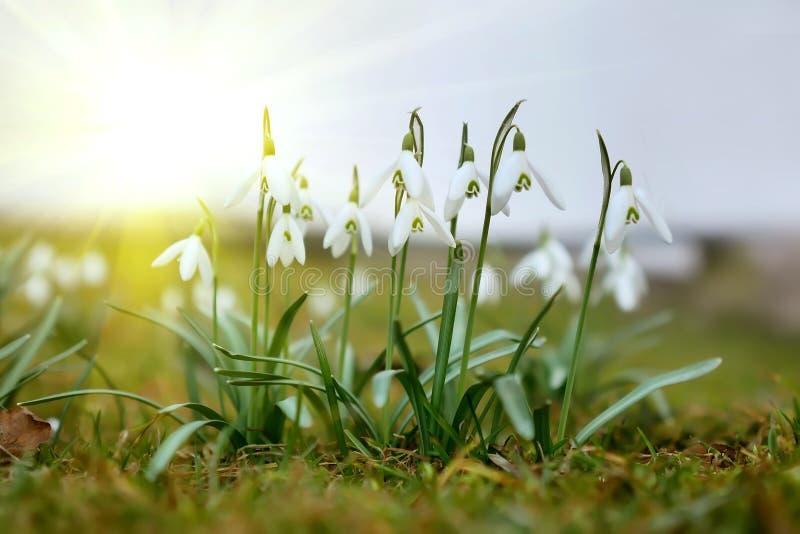 As primeiras flores da mola no sol fotos de stock