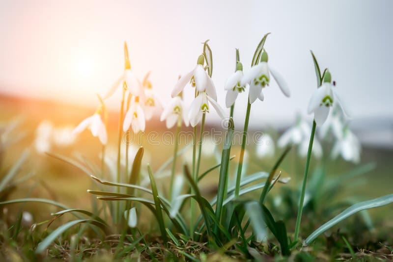 As primeiras flores da mola no sol Chegada da mola Despertar da natureza imagens de stock royalty free
