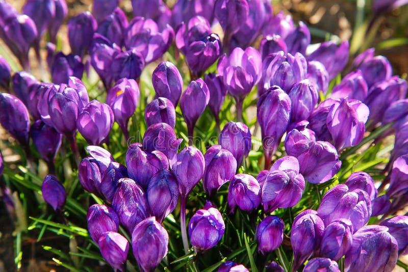 As primeiras flores do açafrão roxo floresceram na clareira da floresta imagens de stock royalty free