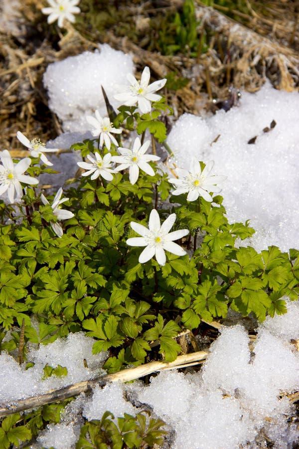 as primeiras flores na neve imagens de stock royalty free