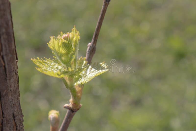 As primeiras folhas da flor nova das uvas na mola Close-up fotos de stock royalty free