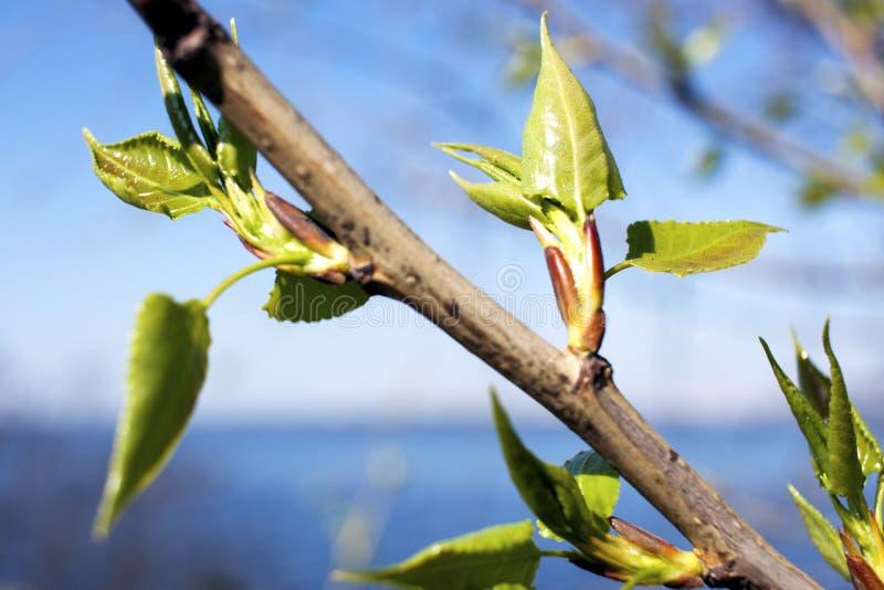 As primeiras folhas da mola nas árvores imagem de stock royalty free