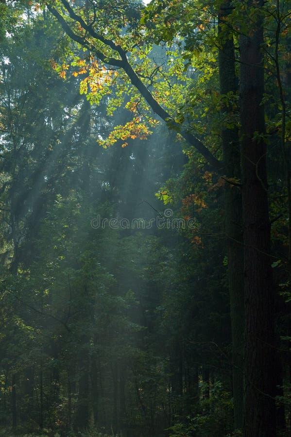 As raias de Sun brilham através das filiais fotografia de stock