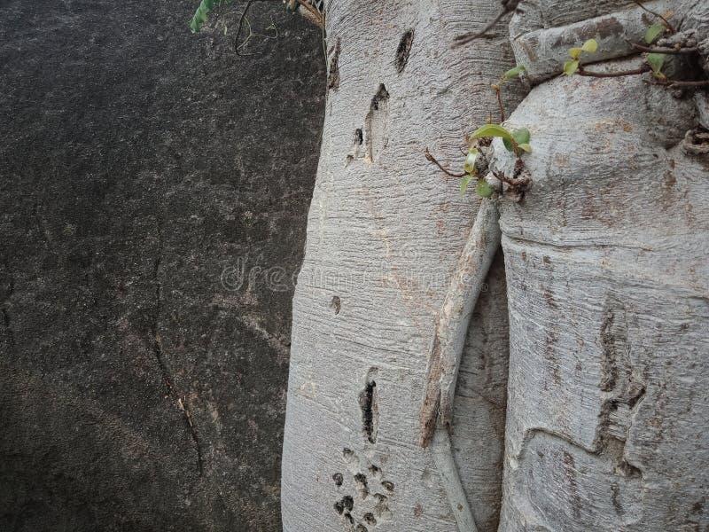As raizes crescidas sobre a grande rocha, raizes da árvore da árvore descascam a textura, papel de parede do fundo da criação da  fotos de stock
