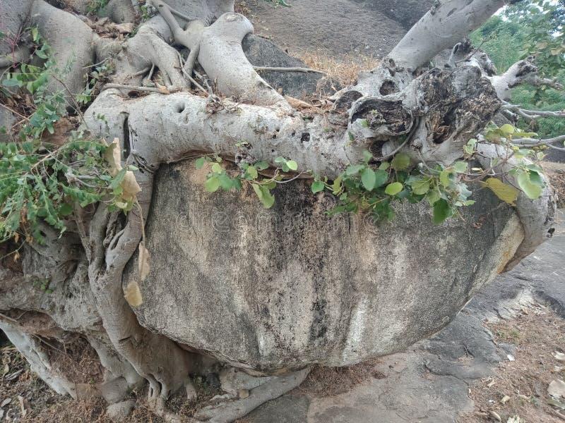 As raizes crescidas sobre a grande rocha, raizes da árvore da árvore descascam a textura, papel de parede do fundo da criação da  foto de stock