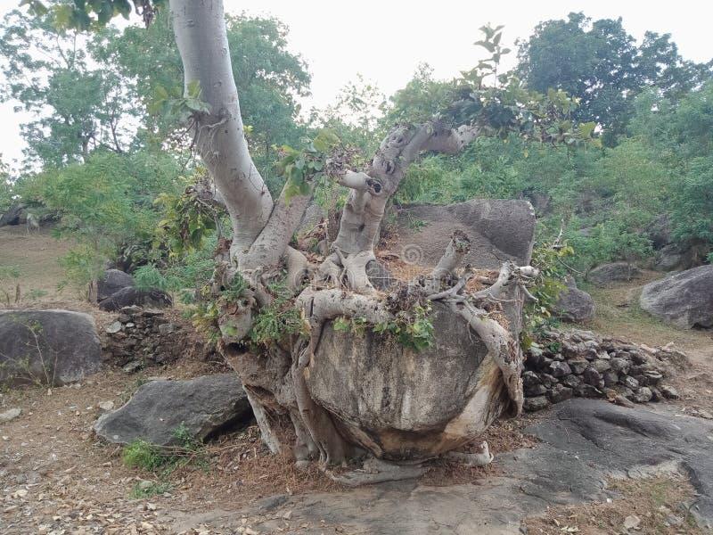 As raizes crescidas sobre a grande rocha, raizes da árvore da árvore descascam a textura, papel de parede do fundo da criação da  imagens de stock royalty free