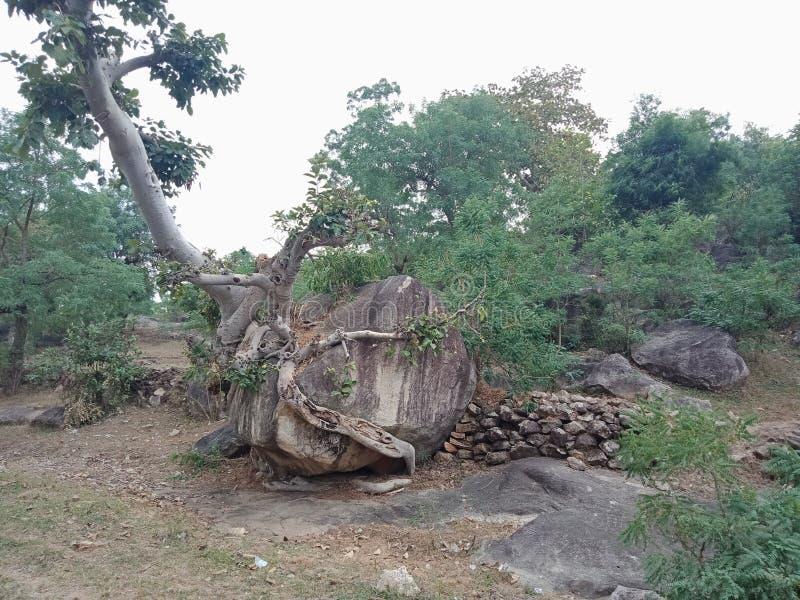 As raizes crescidas sobre a grande rocha, raizes da árvore da árvore descascam a textura, papel de parede do fundo da criação da  imagem de stock royalty free
