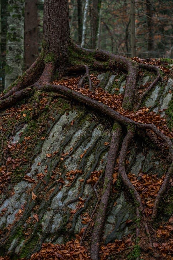 As raizes da árvore retorcem em torno de uma pedra - switzerland fotos de stock royalty free