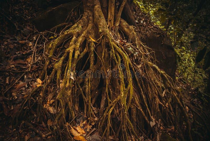 As raizes das árvores na selva Paisagem tropical da floresta úmida da floresta tropical da natureza Malásia, Bornéu, Sabah foto de stock
