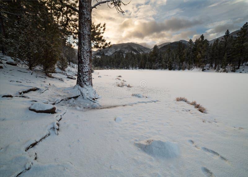 As raizes de um pinheiro espalharam para fora abaixo da neve no banco de um lago congelado cedo nesta manhã do inverno fotografia de stock royalty free