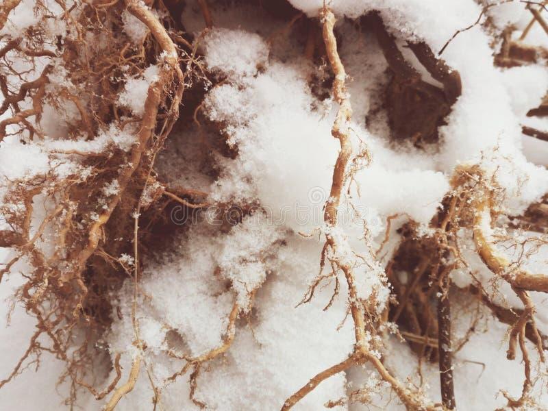 As raizes de uma árvore em uma floresta nevado fotos de stock