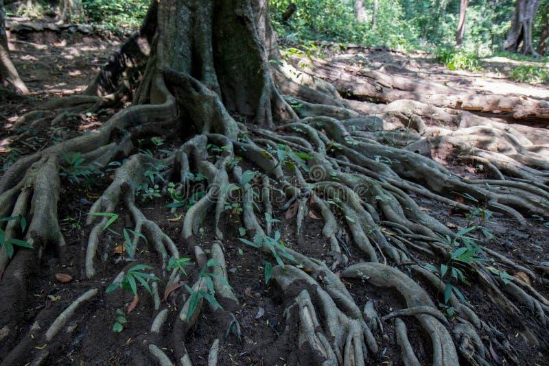 As raizes de uma árvore na lama imagens de stock royalty free