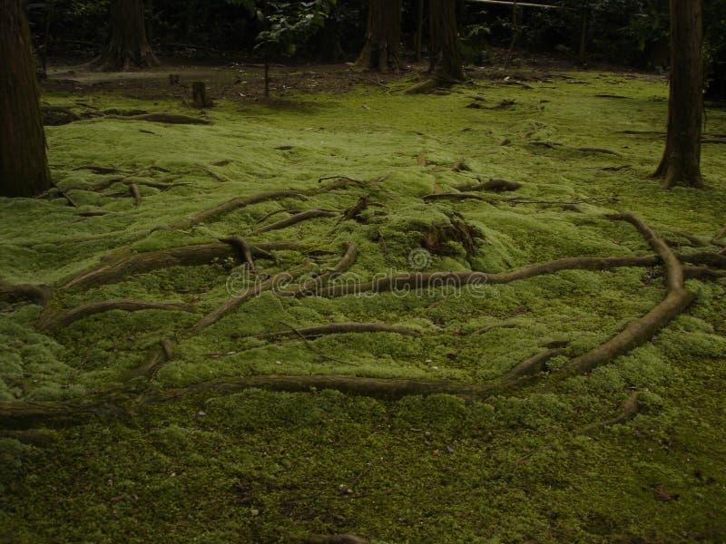 As raizes do musgo fotografia de stock