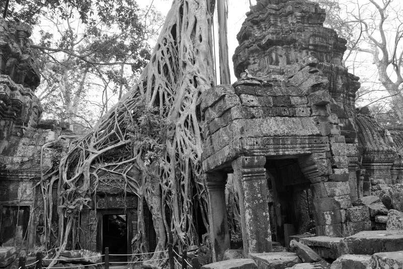 As raizes enormes da árvore tragam o templo arruinado fotos de stock