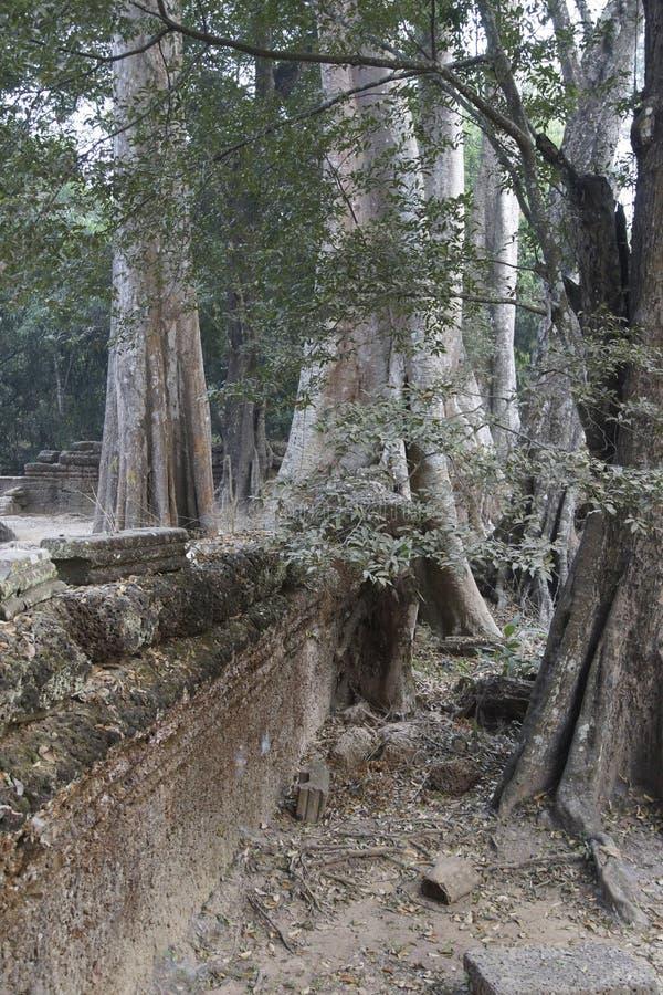 As raizes enormes da árvore tragam o templo arruinado de Ta Prohm imagem de stock