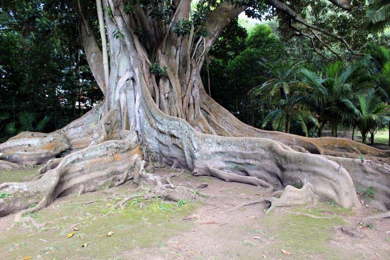 As raizes enormes do ar do ficus & do x28; banyan& x29; no jardim botânico na ilha de San Miguel fotos de stock royalty free