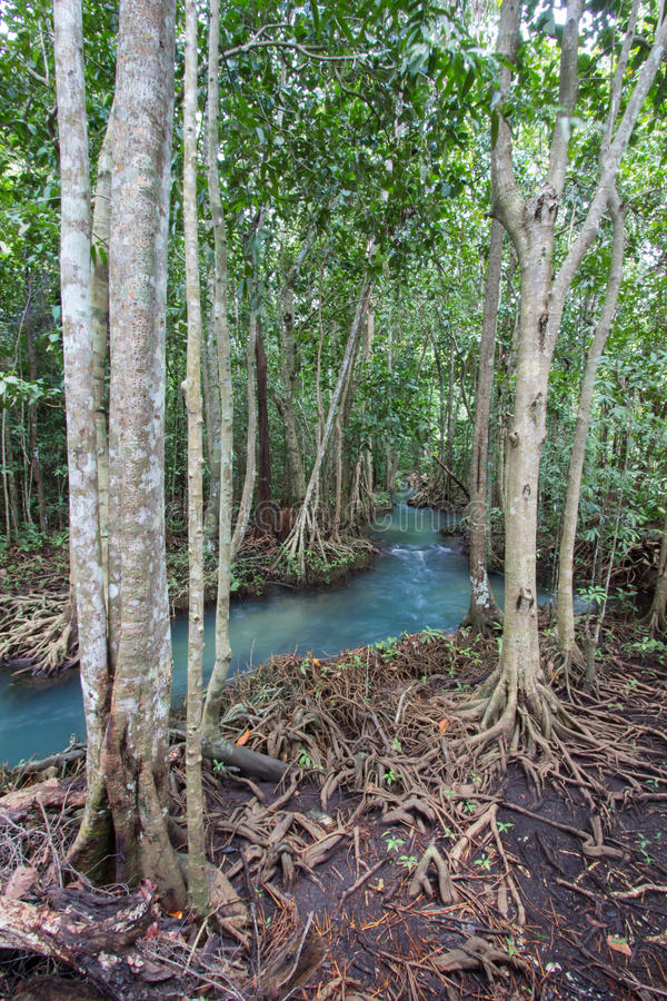 as raizes Esmeralda-verdes da água e da árvore da turfa inundam a floresta em Tha Pom Khlong Song Nam imagem de stock