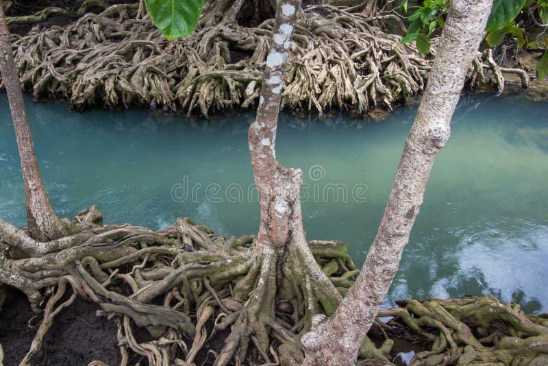 as raizes Esmeralda-verdes da água e da árvore da turfa inundam a floresta em Tha Pom Khlong Song Nam foto de stock