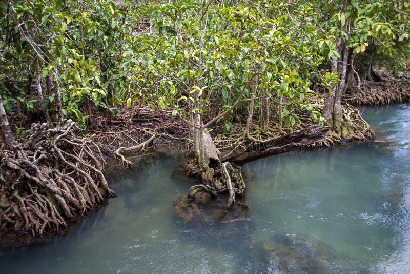 as raizes Esmeralda-verdes da água e da árvore da turfa inundam a floresta em Tha Pom Khlong Song Nam fotografia de stock royalty free