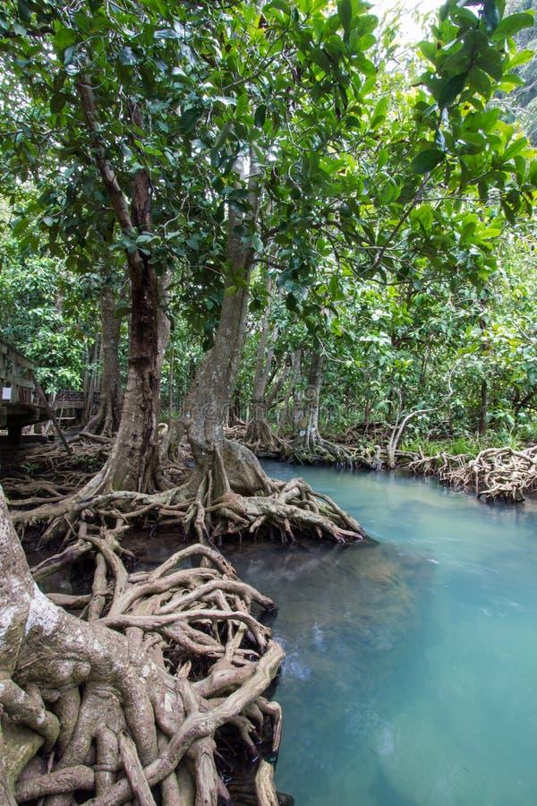 as raizes Esmeralda-verdes da água e da árvore da turfa inundam a floresta em Tha Pom Khlong Song Nam imagens de stock