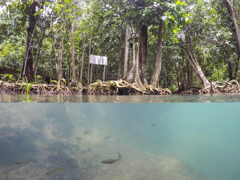 as raizes Esmeralda-verdes da água e da árvore da turfa inundam a floresta em Tha Pom Khlong Song Nam imagens de stock royalty free