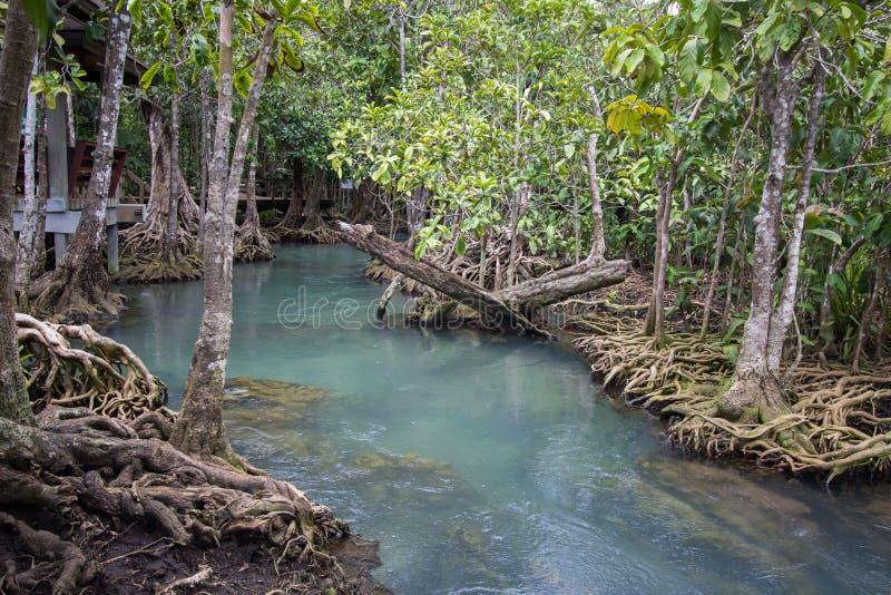 as raizes Esmeralda-verdes da água e da árvore da turfa inundam a floresta em Tha Pom Khlong Song Nam foto de stock royalty free