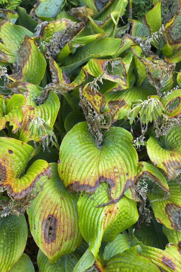 Damaged hosta leaves stock image