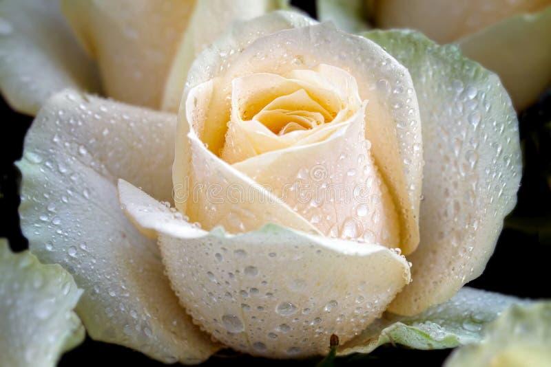 As rosas brancas com detalhes da pétala e para orvalhar o detalhe em rosas fazem as rosas olhar tão bonitas e majestosas foto de stock