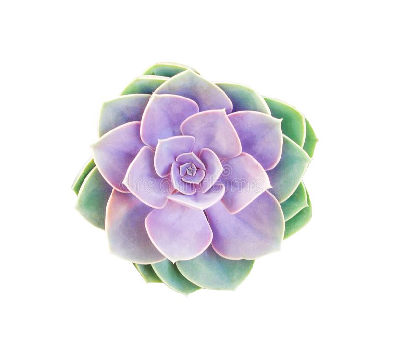 As rosas coloridas apedrejam a opinião superior de florescência das flores do cacto isoladas no fundo branco fotografia de stock royalty free