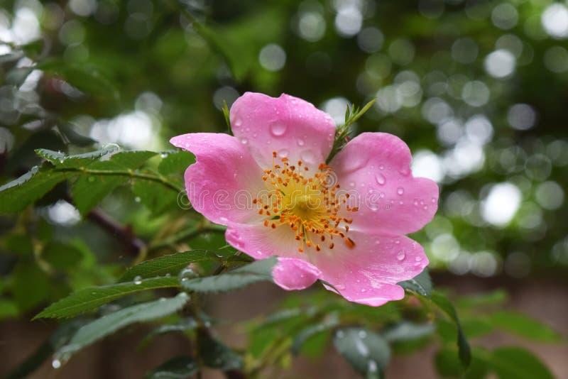 As rosas cor-de-rosa e brancas naturais bonitas com água deixam cair imagens de stock royalty free