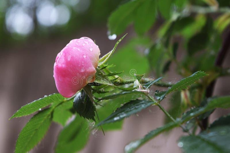 As rosas cor-de-rosa e brancas naturais bonitas com água deixam cair fotografia de stock