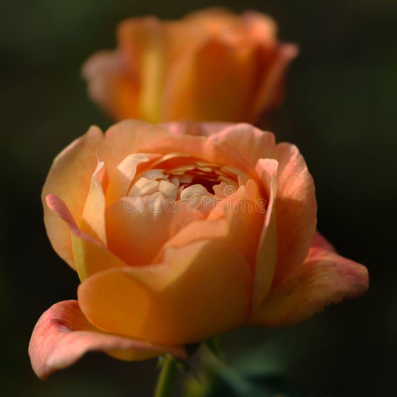 As rosas da cor do pêssego fecham-se acima da composição quadrada imagem de stock royalty free