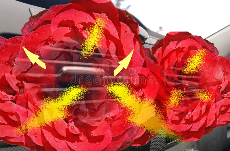 As rosas das flores da fragrância do aircondition do carro alugam o fluxo de ar do refrogerador foto de stock