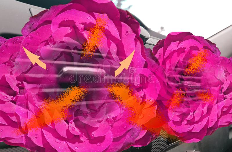 As rosas das flores da fragrância do aircondition do carro alugam o fluxo de ar do refrogerador imagem de stock