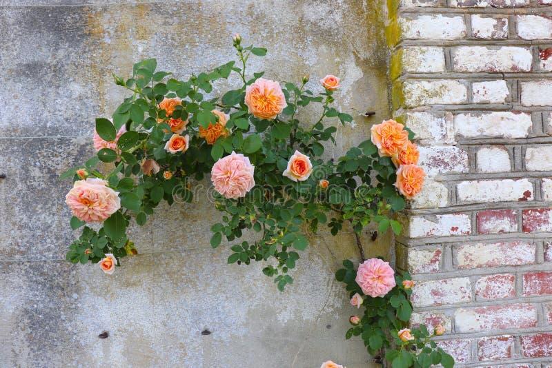 As rosas extravagantes uniram para apedrejar e parede de tijolo foto de stock