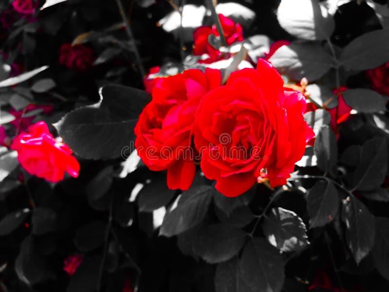 As rosas s?o vermelhas foto de stock