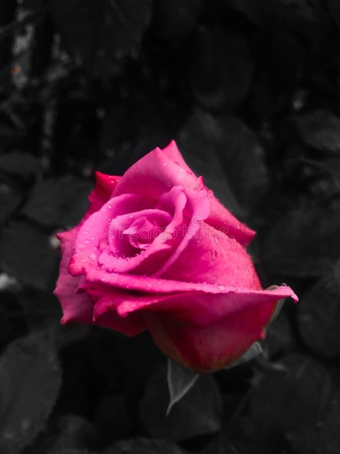 As rosas s?o vermelhas fotografia de stock