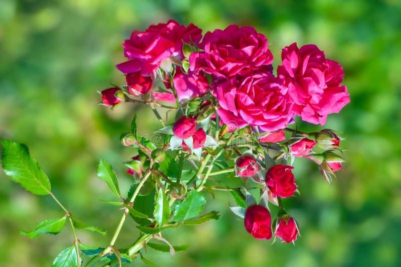 As rosas vermelhas cobrem com os botões no jardim fotos de stock royalty free